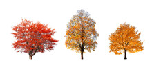 Set Of Three Orange And Yellow Autumn Trees Isolated On White Background