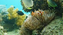 Clown Fish And Sea Anemone, Na...