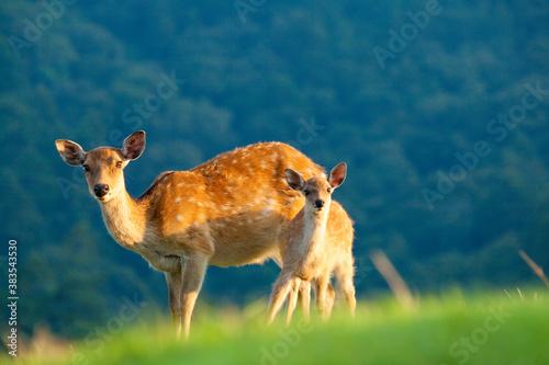Photo 奈良の親子鹿