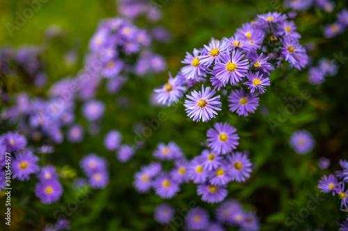 Blühende Blumen mit lila Blüten für Karten Ansischtskaten, Glückwunschkarten