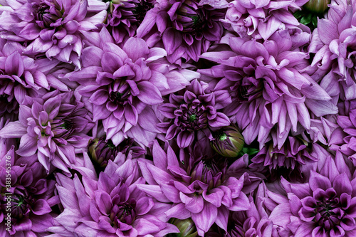 Fotomural Beautiful dahlia flowers.Floral background.
