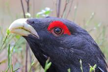 Western Capercaillie. Bird In Breeding Season. Male In Spring. Tetrao Urogallus