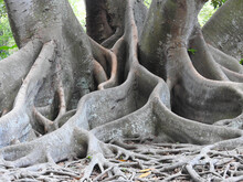 Massive Banyan Tree Roots At A Botanical Garden In Florida
