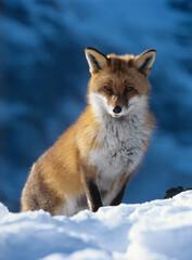 Fox sitting in snow