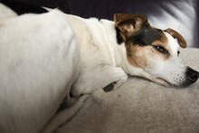A Sleepy Cute Jack Russell Parsons Dog On The Sofa. Man's Best Friend