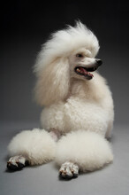 Full Length Of Standard Poodle Relaxing On Grey Background