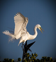 Great Egret Comes Into Mangroves Of Everglades.
