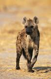 Fototapeta Sawanna - Spotted Hyena (Crocuta Cocuta) standing on savannah