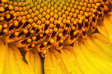 Closeup Of A Blooming Sunflowe...