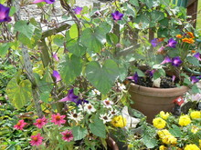 Flower Pot, Flowering Zinnia, Morning Glory On Vines