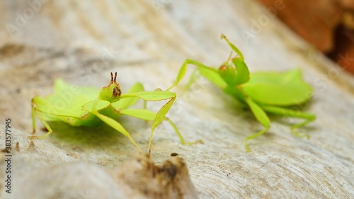 Cuadros en Lienzo Two green leaflike stick-insects Phyllium giganteum interacting on a tree trunk