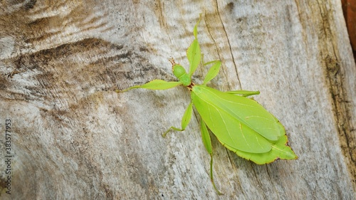 Fotomural Green leaflike stick-insect Phyllium giganteum on a tree trunk in natural enviro