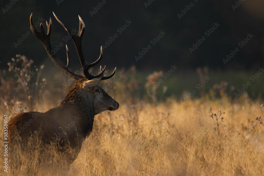 Fototapeta deer stag