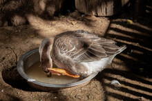 An Adult Goose In The Poultry Yard Bathes In A Basin