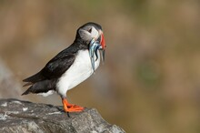 Atlantic Puffin On Rock With F...