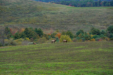 A Single Large Bull Elk Calling In More Of His Herium While Two Cow Elk Graze Nearby. Pennsylvania Wild Elk Herd. October, Fall Foliage.
