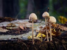 Few Yellow Mushrooms With Insect Growing On A Tree Trunk. Fall Time