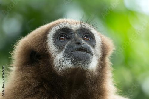фотография gibbon