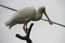 A Spoonbill In A Tree