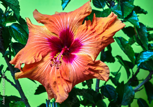 Obraz Close-up of the end of the rod in a blooming red hibiscus flower - fototapety do salonu