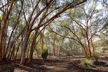 Trail Through Eucalyptus Trees...