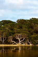 Paperbark Tree And Bush Across Estuary With Rippled Reflection In Dark Water