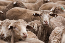Face Of An Individual Ewe In A Mob Of Shorn Sheep