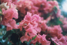 Pink Bougainvillea Flowers In ...
