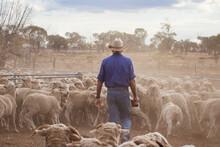 Man Yarding Sheep In Sheep Pen