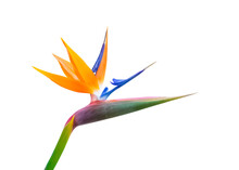 Pastel Colored Bird Of Paradise Flower Closeup Cutout Isolated On A White Background