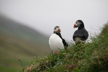 A Pair Of Puffins Perched On A...