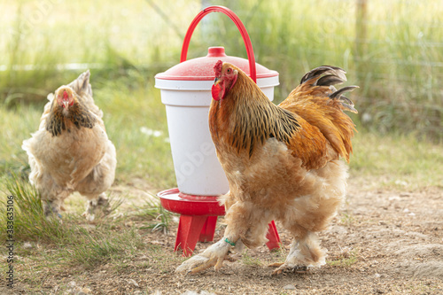 Fotomural pedigree rooster and hen in a farm
