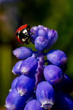 Ladybird On Grape Hyacinth