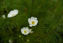 Garden Cosmos Or Cosmos Bipinnatus Pure White Flower