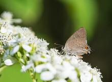 Hairstreak Butterfly Feeding On White Flower Blossoms In The Garden