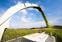 Modern Combine Harvester Unloading Green Corn Into The Trucks