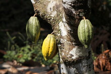 Part Of A Trunk Of Cacao With Three Fruits (one Ripe And Two Not Ripe)