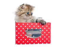 Persian Kitten