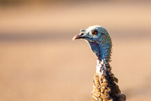 Close-up Of An Eye Of A Female Wild Turkey (Meleagris Gallopavo) In Wisconsin