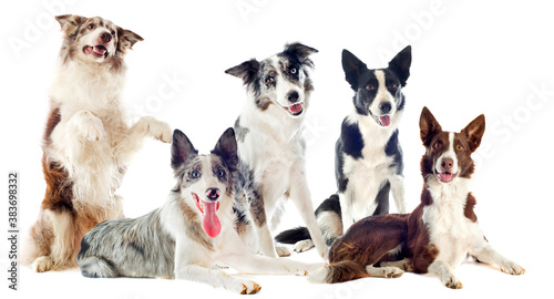 Foto border collies