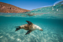 A Sea Lion Swims Playfully Under The Surface