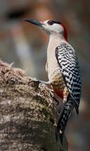 West Indian Woodpecker (Melane...
