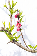 Peach Blossom Flower Isolated ...
