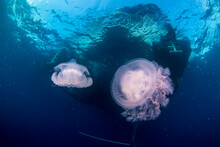 A Jellyfish Floats Underneath ...