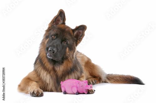 Tablou Canvas German Shepherd