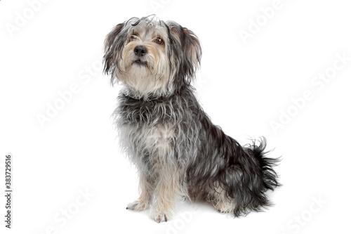 Fotografía mixed breed maltese dog/yorkshire terrier