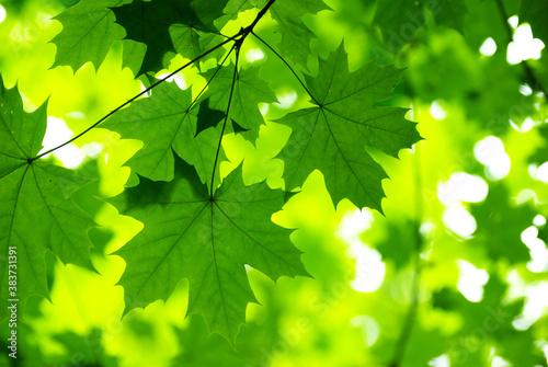 Fototapety zielone  green-leaves