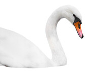 Head Of White Swan Isolated On...