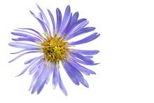 Alpine Aster Flower. White Iso...