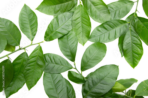 Fotografiet green branches with lemon leaves on white background